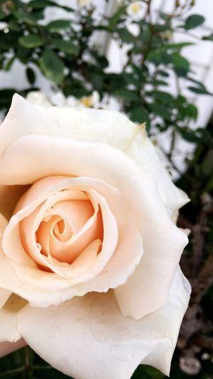 Scenics Beauty In Nature Flower Petal Rose - Flower Springtime