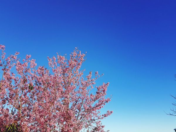 spring break Sakura Low Angle View Multi Colored Outdoors Sky Blue Day Nature Clear Sky