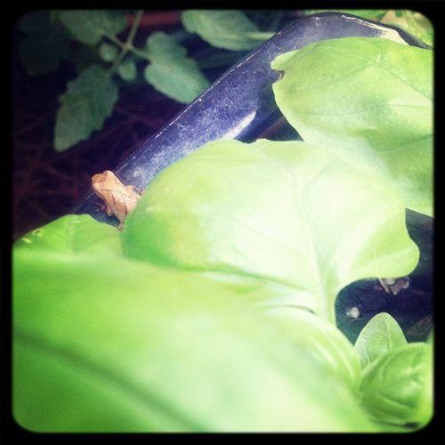Frog Chorus Frog Spring Peeper
