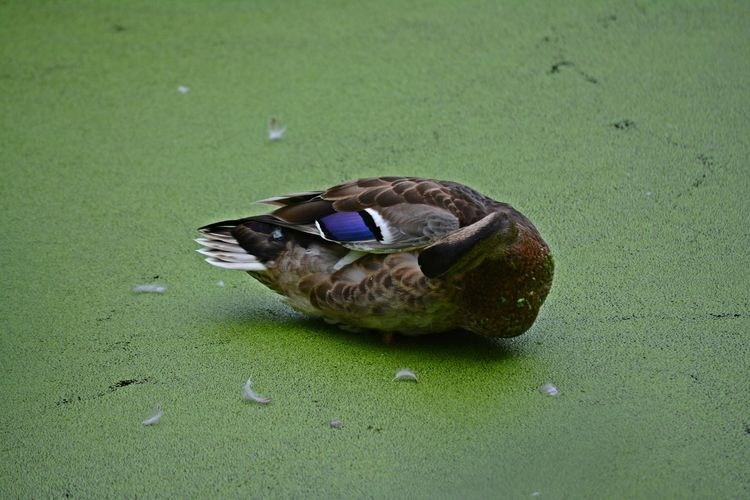 Tucked In Green Animal Animal Themes Animal Wildlife Animals In The Wild Bird Close-up Duck Duckweed Green Color High Angle View Mallard Duck Nap Nature No People One Animal Outdoors Poultry Sleep Vertebrate Water
