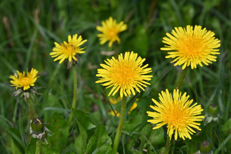 Close up yellow dandelion flowers in green grass Flower Flowering Plant Plant Vulnerability  Fragility Growth Beauty In Nature Freshness Flower Head Inflorescence Petal Close-up Yellow No People Nature Selective Focus Green Color Day Focus On Foreground Field Outdoors Pollen Dandelion Spring Springtime High Angle View