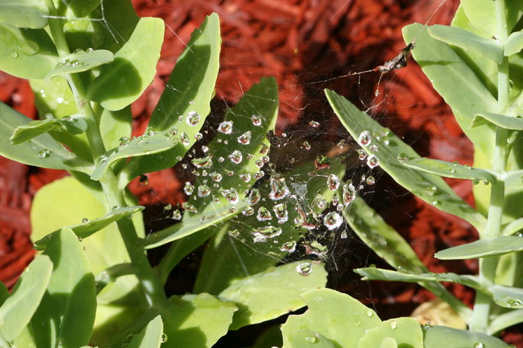 No Filters Or Effects Succulents Beauty In Nature Close-up Day Drop Fragility Freshness Green Color Growth Leaf Nature No People Outdoors Plant RainDrop Spider Web Water Water Caught In Web Wet