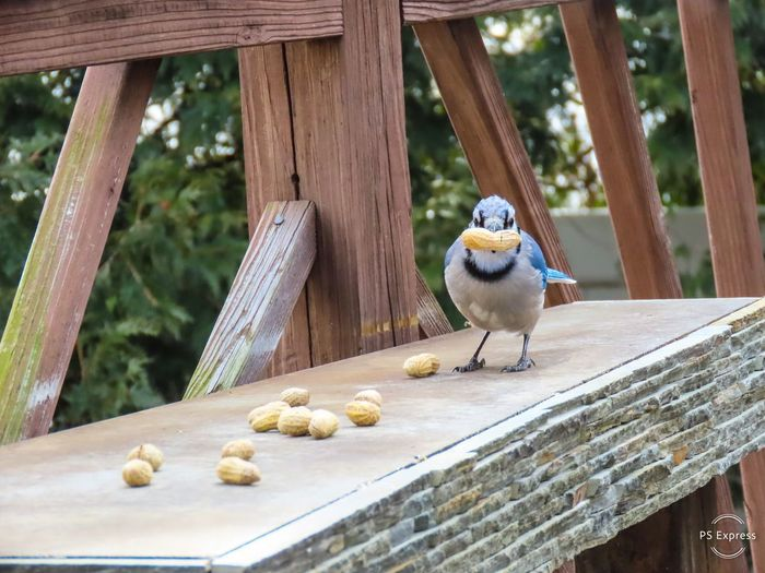 Blue jay with peanut perched on a wooden table peanut in beak looking at the camera animal themes Animal Wildlife Bird Wood - Material No People