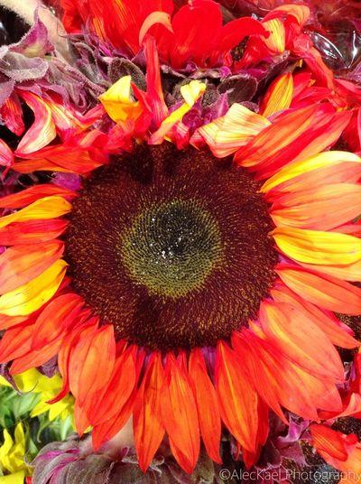 Sunflowers Sunflower Flowers Flower