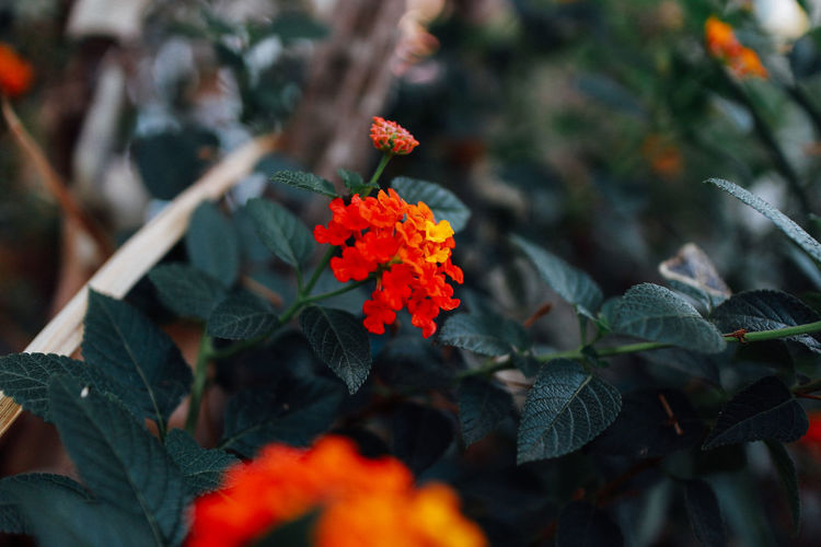 Plant Flower Flowering Plant Beauty In Nature Plant Part Growth Leaf Close-up Orange Color Nature No People Vulnerability  Freshness Day Selective Focus Fragility Focus On Foreground Outdoors Petal Inflorescence Flower Head Lantana Plant Growth Tree Nature Beauty In Nature Nature Photography