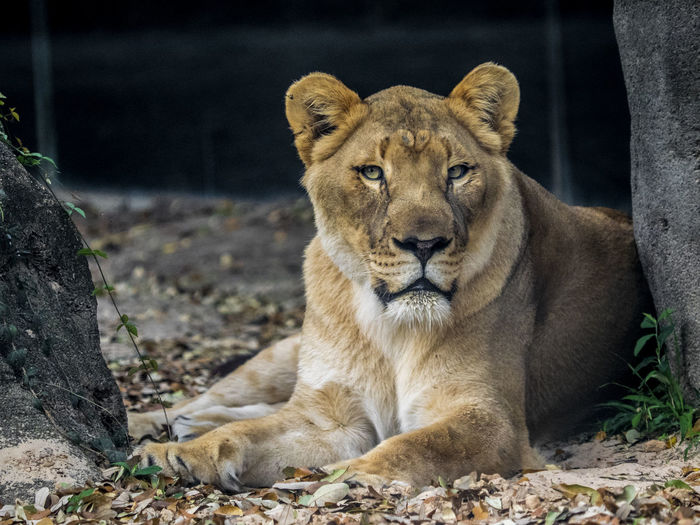 Portrait of lion relaxing outdoors
