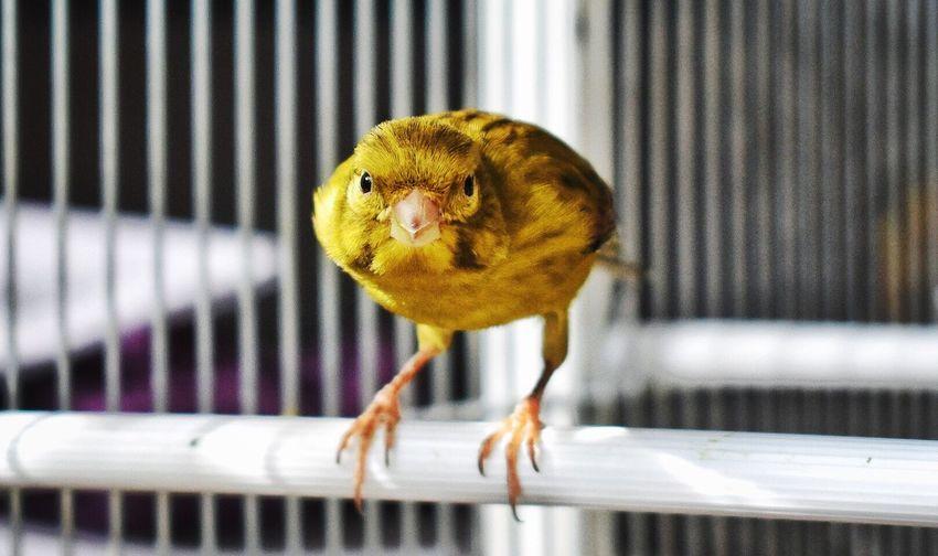 Face to Face... Animal Themes Canario Facetoface Areyouready Nopeople Birds Of EyeEm  Photobirds Canary Yellow Canary Pet Portraits