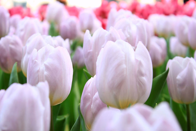 Beauty In Nature Blooming Flower Green Color Growth Leaf Nature No People Petal Pink Color Plant Purple Tulip 鬱金香
