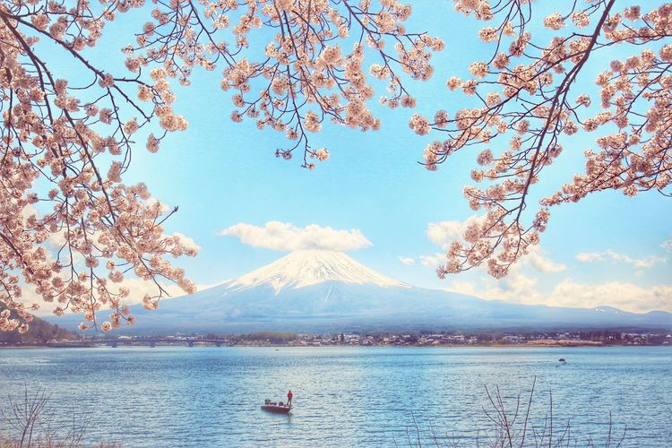 Mt.Fuji Japan Japannature Japantravel Canon Landscape Lake Tree Water Flower Mountain Swan Sea Blue Branch Beach Sky Cherry Blossom Cherry Tree Springtime Cherry Snowcapped Snow Covered Snowcapped Mountain In Bloom Blossom