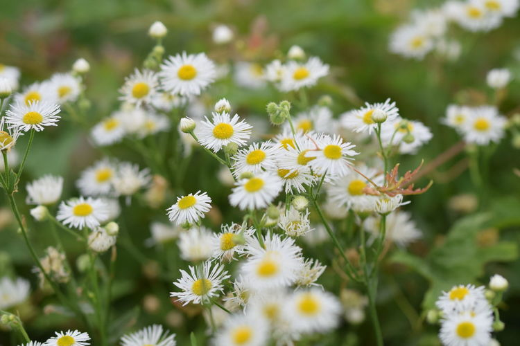 White Daisy Yellow Center Daisy No People Flower Head Flower Multi Colored Flowerbed Yellow Botanical Garden Uncultivated Petal Wildflower Poppy Flowering Plant Blossom