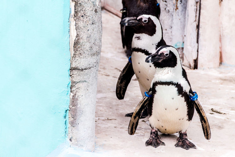 Penguins walking by wall during winter