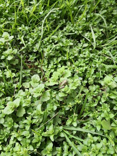Frog Frog Frogs Rana Batracien Batracio Green Color Verde Colors Textured  Textura Texturas Y Colores Leaf Leaves Green Grassland Young Plant Colored Countryside Growing Greenery Plant Life