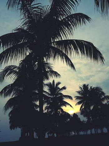 Tree Silhouette Palm Tree Sky Branch Palm Leaf Frond Coconut Palm Tree Tropical Tree Treetop Tree Trunk Palm Frond