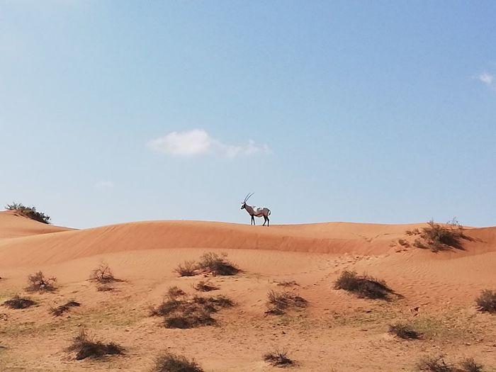 Oryx on sand in desert against sky