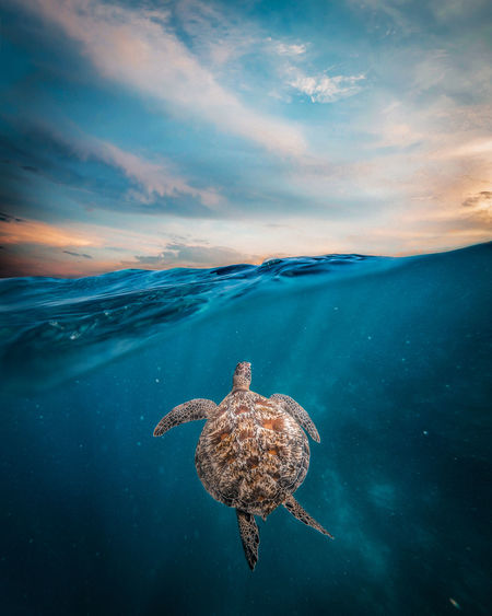 Full length of turtle swimming in sea during sunset