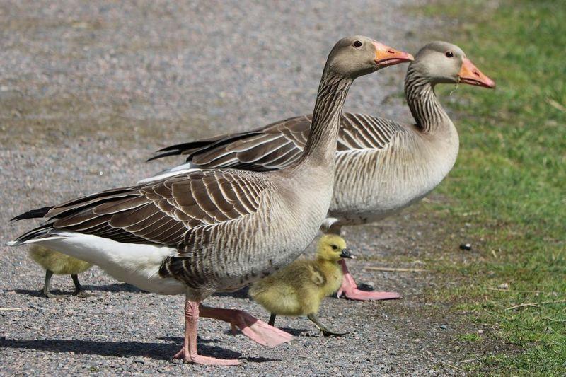 Mallard duck on land