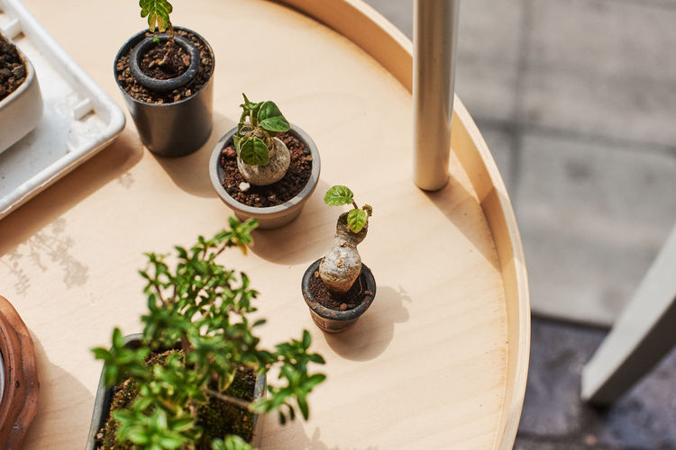 Bonsai Tree High Angle View Table Indoors  Potted Plant Plant No People Wood - Material Food And Drink Food Nature Growth Herb Container Green Color Close-up Still Life Freshness Leaf Plant Part Flower Pot Tray Gardening Houseplant