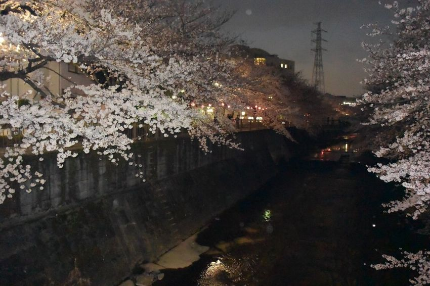 #桜 #sakura #夜桜 #cherryblossom #春 #japan #日本 Japan Photography Japan #cherryblossom Tree No People Branch Architecture Illuminated Outdoors Nature