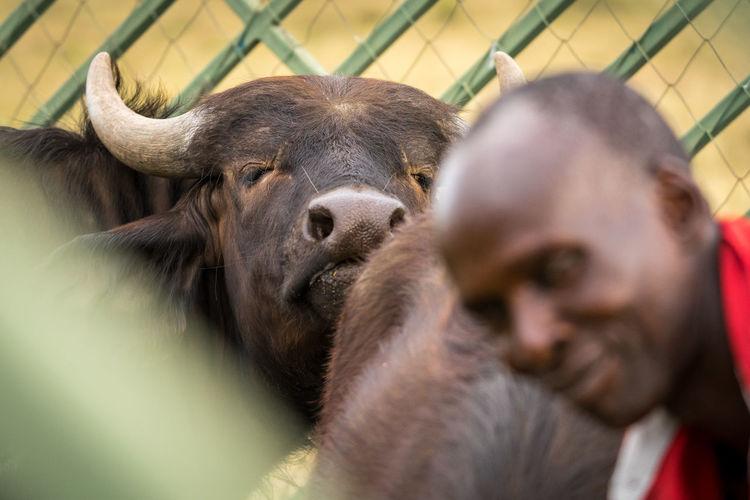 The buffalo's