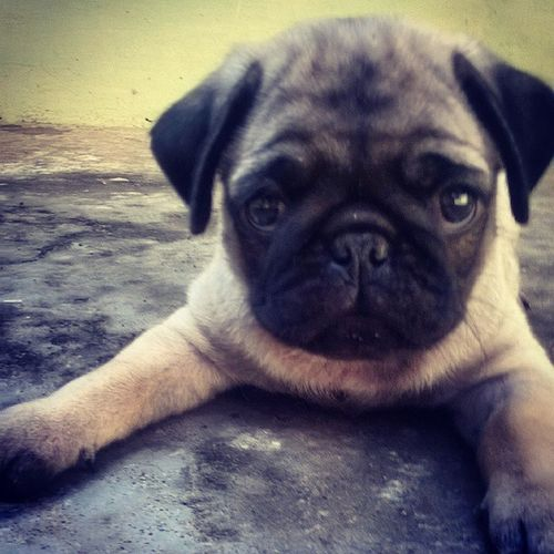 My strong boy! Puggy Pug Cute Babypug Meetthepugs Dog Puppy Babyanimal Boy Pet Pugsofinstagram Cute Followme Puggy Doggy MyBoy FollowFollowFollow