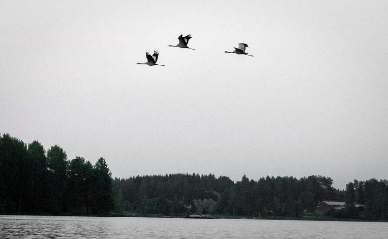 Finland Finnland In Summer Animal Animal Themes Animal Wildlife Animals In The Wild Bird Birds Crane Flying Lake No People Outdoors Sky