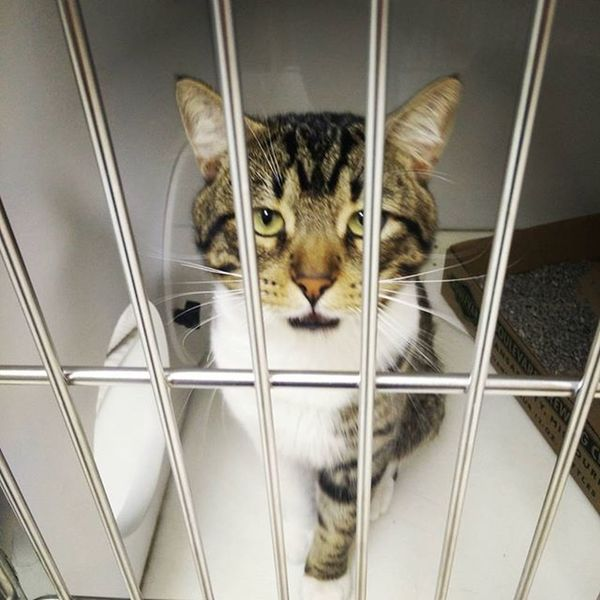 Stubbs, caught in mid-meow, is a handsome fellow. He's been waiting for a home at the Lawrence Humane Society since 17 July. Lofi