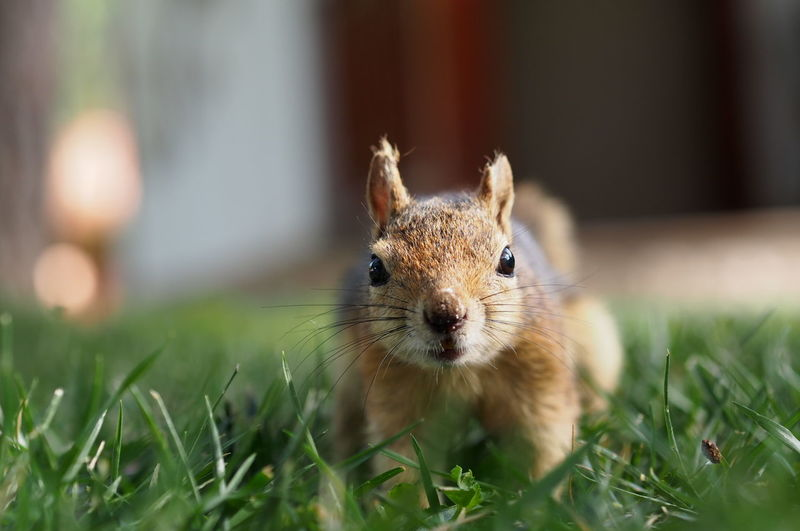 Close-Up Portrait Of Squirrel On Grassy Field