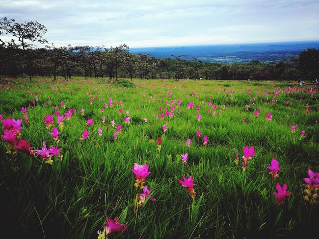Flower Field Purple Nature Plant Flowerbed Beauty In Nature Variation Landscape Cloud - Sky Wildflower Multi Colored Beauty Pink Color Holiday Happiness Love Photograph Backgrounds Traveling Photography Green Color Grass Nautical Vessel