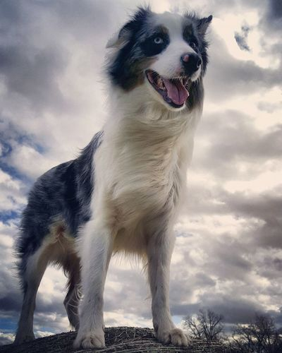 Electric skies this afternoon! Gonna spend the day knockin' on clouds and listenin' for the sound... Australianshepherd Outdoors Aussies Dog Pet After The Rain Model