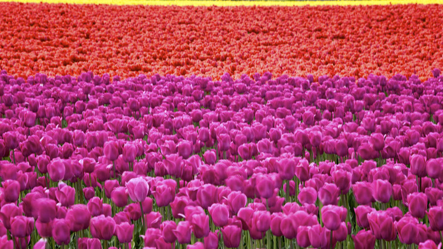 Full frame shot of purple flowers in field