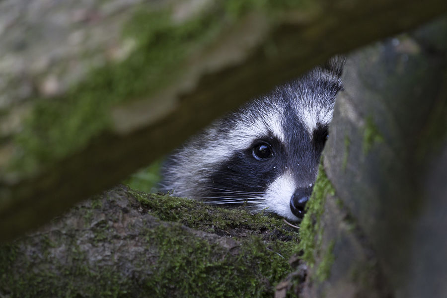 Animal Animal Themes Bear Close-up Coon Mammal Nature No People Observe One Animal Raccoon Racoon To Hide To Hide Out To Observe