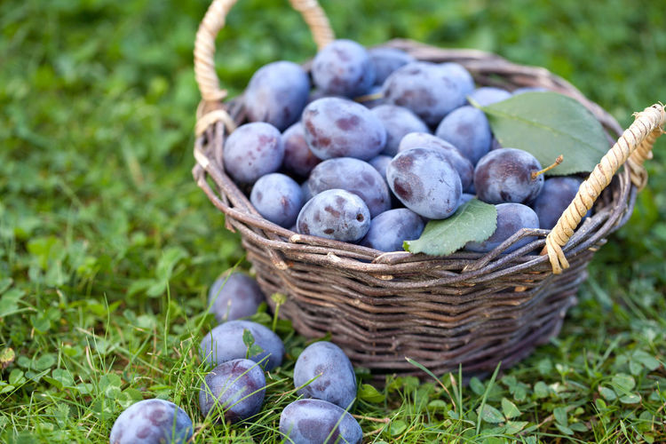 Damson plums (Prunus insititia) in the basket Agriculture Farmers Market Grass Green Nature Basket Berry Blue Close-up Damson Plums Day Food Food And Drink Freshness Fruit Garden Harvest Healthy Eating Leaf Nature No People Organic Outdoors Plum Prunus