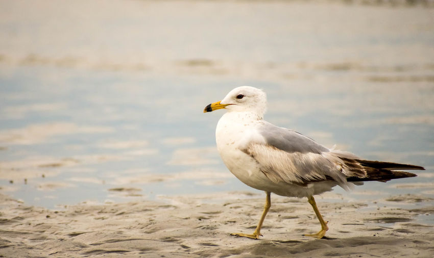 Vacations Travel Vacation Travel Destinations Animal Animal Themes Animal Wildlife Animals In The Wild Beach Bird Day Focus On Foreground Land Motion Nature No People One Animal Perching Sand Sea Seagull Vertebrate Water
