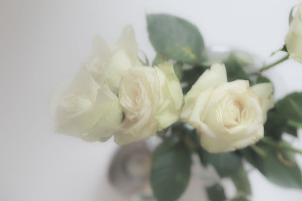 Backgrounds Beauty In Nature Bunch Of Flowers Close-up Flower Flower Arrangement Flower Head Flowering Plant Fragility Freshness Growth Indoors  Inflorescence Nature No People Petal Plant Rosé Rose - Flower Soft Focus Softness Studio Shot Vulnerability  White Background White Color
