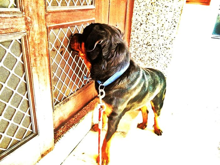 Pets CornerNexus5 Rottweilerlove Dog Love Dogs At Home :) Summer Dogs Random :) Eye4photography  Rottweiler