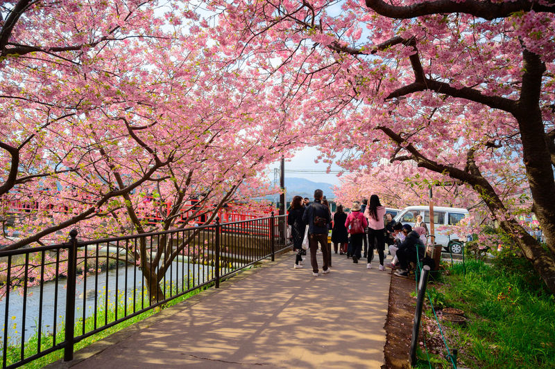 Group of people in pink cherry blossom trees in park