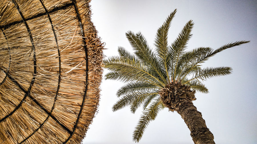 Low angle view of palm tree and thatched roof against clear sky