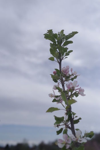 Close-up of flowering plant against cloudy sky