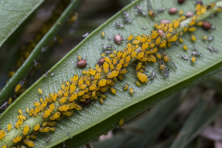 Close-Up Of Yellow Insects On Green Leaf