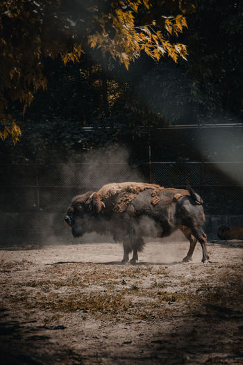 American bison enjoying a sunny day
