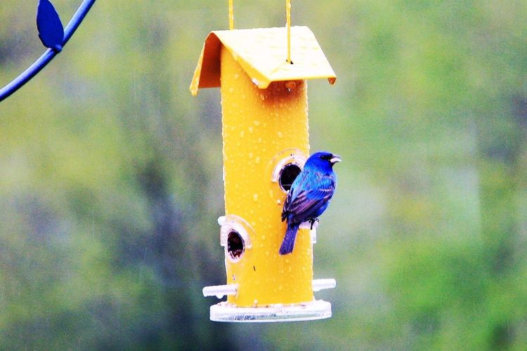 Animal Themes Animals In The Wild Bird Bird Feeder Blue Close-up Day Focus On Foreground Indigo Bunting Nature No People Outdoors Perching