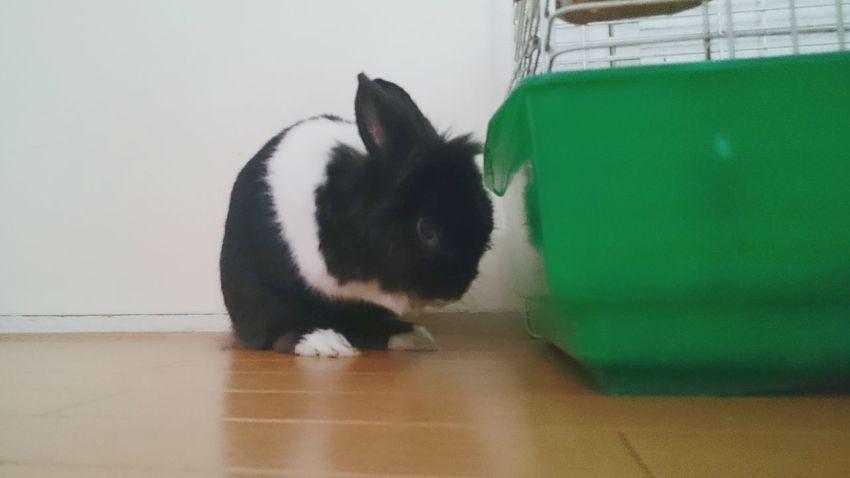 Pets Rabbit 🐇 おてて