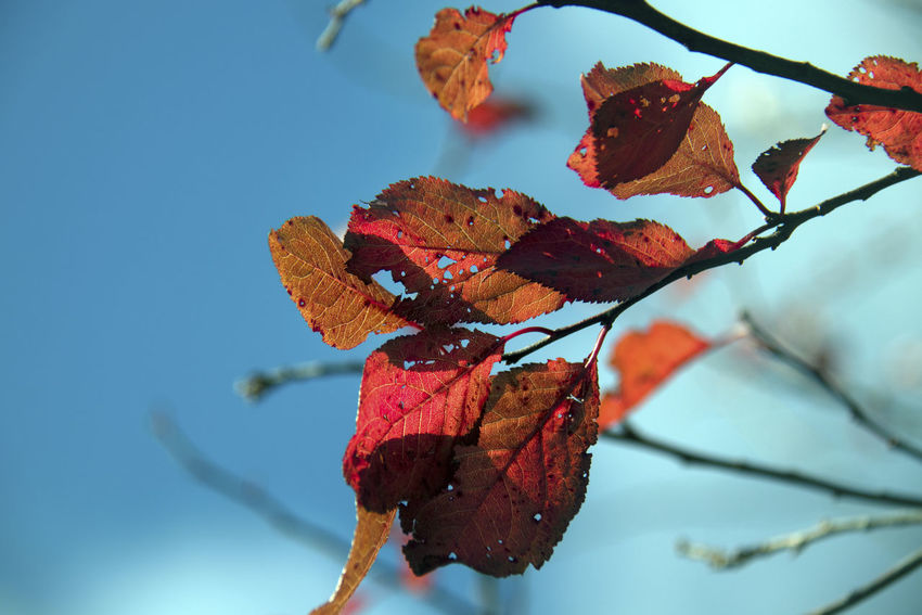 Close-up Red Plant Part Leaf Plant Beauty In Nature Nature Focus On Foreground No People Twig Day Branch Outdoors Growth Autumn Change Tree Vulnerability  Freshness Fragility Leaves Dried