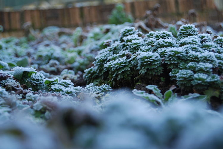 Close-up Day Freshness Frost Green Color Growth Nature Outdoors Overcast Plant Saxifragaceae Selective Focus Winter