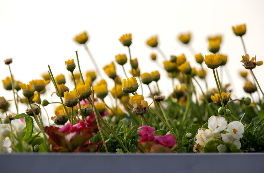 Abundance Beauty In Nature Blooming Blossom Botany Close-up Day Flower Flower Head Focus On Foreground Fragility Freshness Green Color Growing In Bloom Nature No People Outdoors Petal Plant Selective Focus Seonyudo Sky Stem Yellow