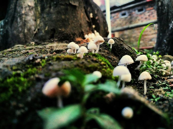 Close-up of white mushrooms growing on field