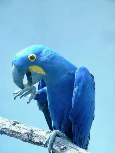 Pet Portraits Animal Themes Animals In The Wild Beauty In Nature Bird Blue Close-up Hyacinth Macaw Macaw No People One Animal Parrot Perching
