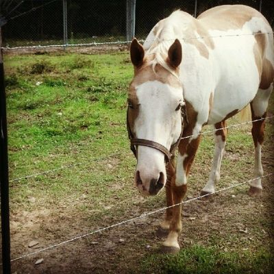 The attention whore Equus Horses Gelding Palomino Paint