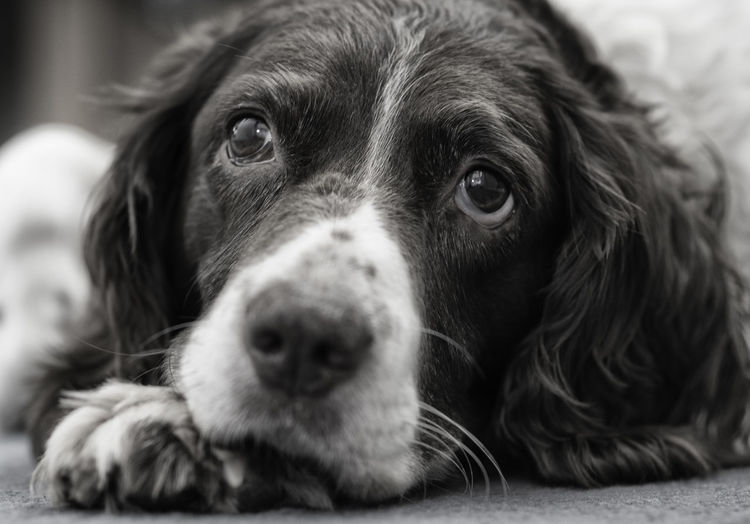 Daisy Animal Head  Black & White Dog Domestic Animals Gundogs Looking At Camera No People Pets Portrait Springer Spaniels Working Dogs