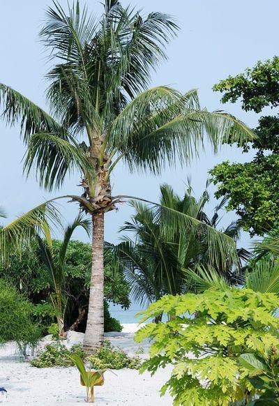 Maldives Palm Tree Trees Green